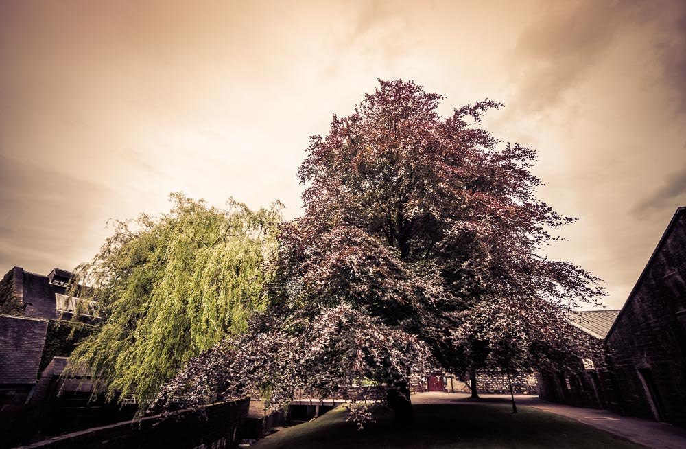 The beautiful trees outside the Blair Athol warehouses - a Weeping Willow and Copper Beech