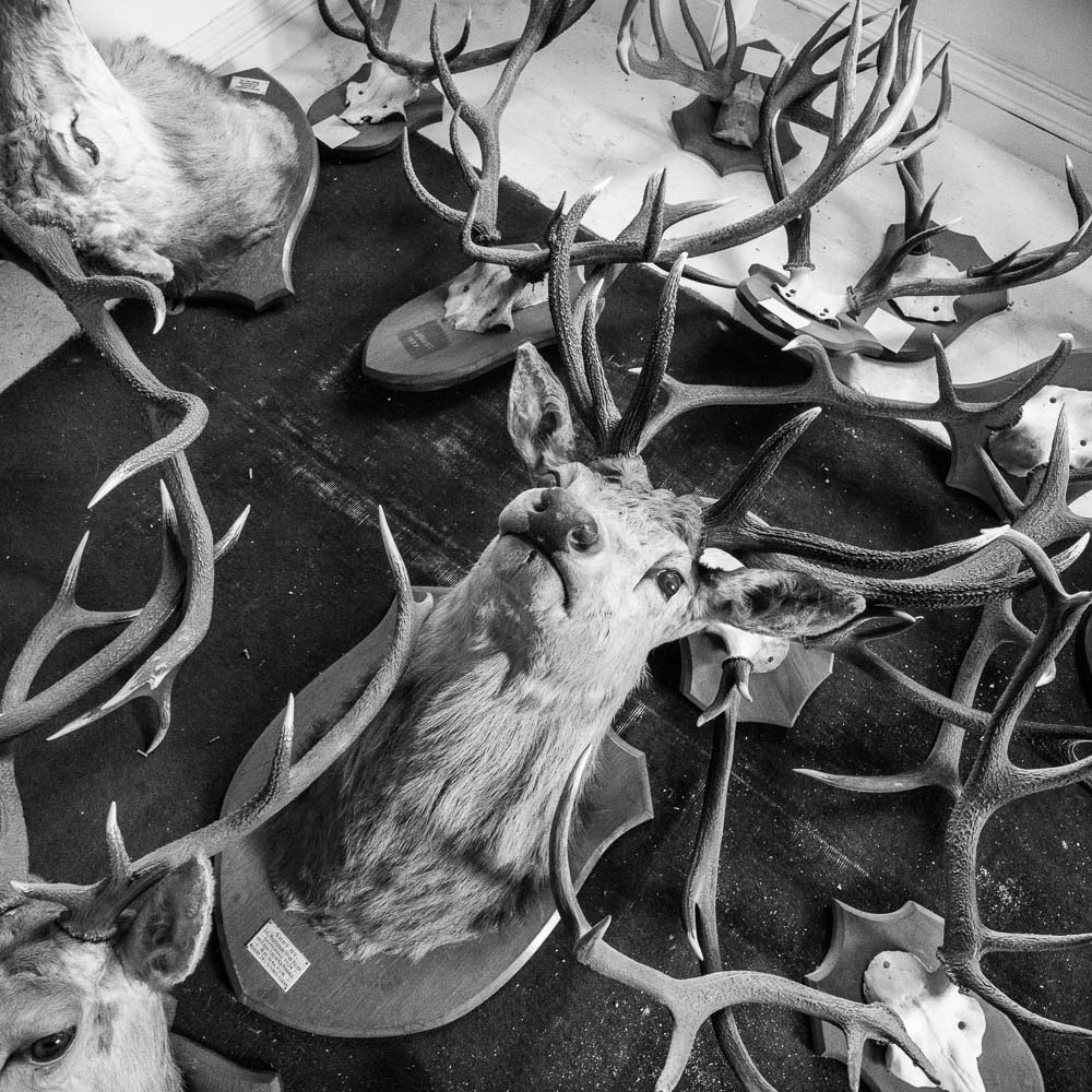 mounted deer heads and horns at islay house